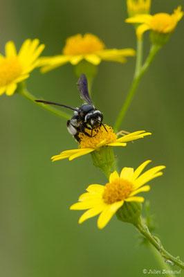 Andrena agilissima (réservoir de La Barne, Jû-Belloc (32), France, le 29/05/2018)