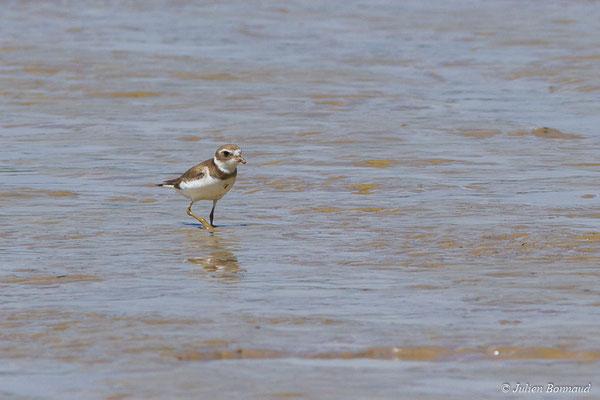 Gravelot semipalmé – Charadrius semipalmatus Bonaparte, 1825, (adulte, plumage internuptial) (Route des plages, Remire-Montjoly, Guyane, le 29/03/2017)