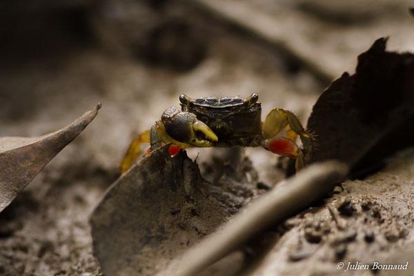 Crabe des palétuviers (Aratus pisonii) (Association pour la Découverte de la Nature en Guyane, Saint-Laurent-du-Maroni, le 16/06/2016)
