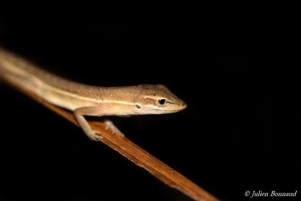 Anolis auratus (Norops auratus) (Centre Spatial Guyanais, Kourou, le 25/06/2014)