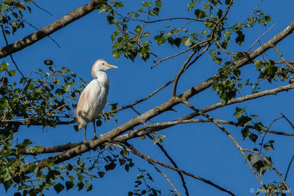 Héron garde-boeufs (Bubulcus ibis) (Lac d'Orthez (64), le 31/05/2019)