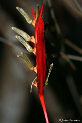 Heliconia acuminata (Saut Sonelle, Maropassoula, le 09/09/2014)