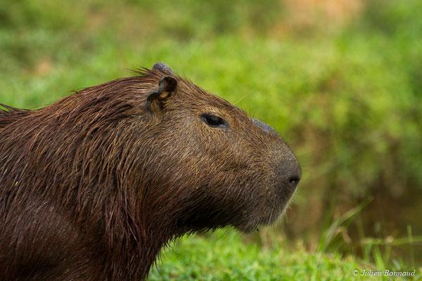 Cabiaï (Hydrochoerus hydrochaeris) (mâle adulte) (Zoo de Guyane, Montsinéry, le 22/04/2017)