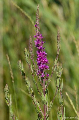 Salicaire commune ou Salicaire pourpre (Lythrum salicaria) (Braud-et-Saint-Louis (33), France, le 21/06/2018)