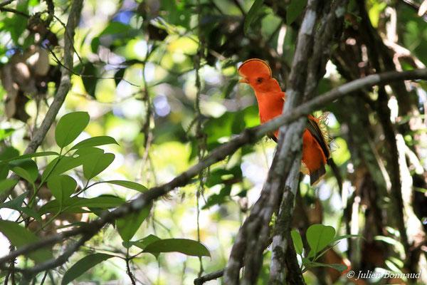 Coq-de-roche orange (Rupicola rupicola) (mâle adulte) (Montagne des Gouffres, le 21/11/2015)