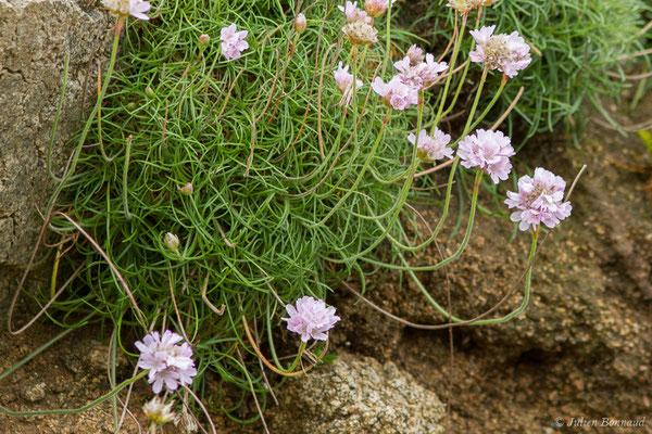 Armérie maritime – Armeria maritima (Mill.) Willd., 1809, (Réserve naturelle nationale des Sept-Îles, Perros-Guirec (22), France, le 05/07/2021)