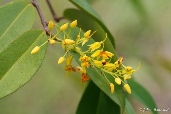 Ouratea cardiosperma (Centre Spatial Guyanais, Kourou, le 12/05/2014)
