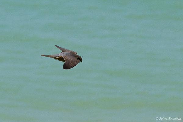 Faucon hobereau (Falco subbuteo) (Bidart (64), France, le 22/05/2019)