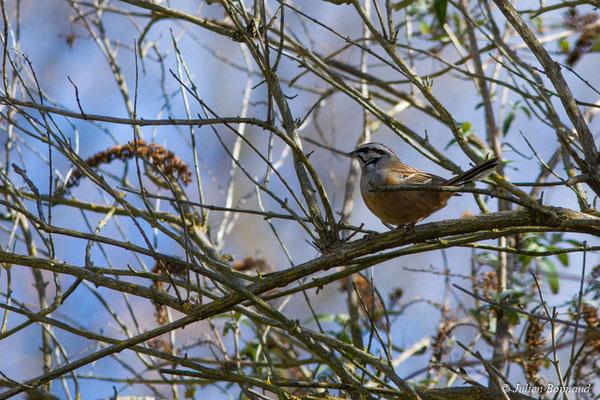 Bruant fou (Emberiza cia) (mâle en plumage nuptial) (Agos-Vodalos (65), France, le 03/03/2018)
