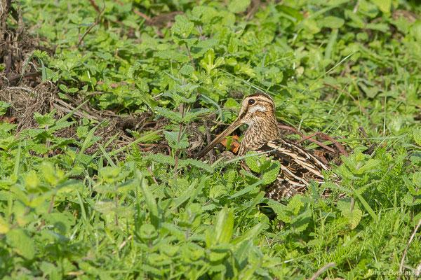Bécassine des marais (Gallinago gallinago) (Saligue aux oiseaux, Biron (64) France, le 27/10/2019)
