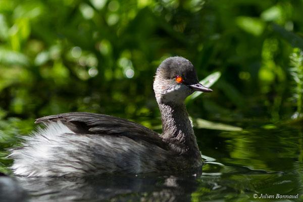 Grèbe à cou noir – Podiceps nigricollis Brehm, CL, 1831, (adulte en plumage internuptial) (parc animalier des Pyrénées, France, le 03/10/2017)