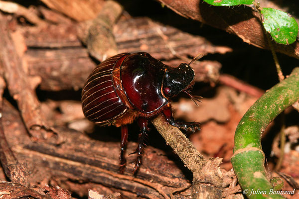 (Dichotomius sp.) (sentier du Rorota, Remire-Montjoly, le 13/07/2015)
