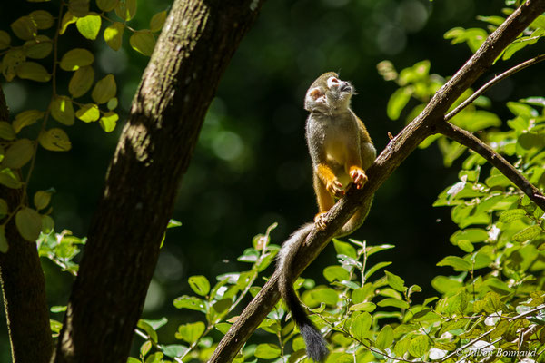 Singe écureuil ou Saïmiri (Saimiri sciureus) (Ilet La Mère, Remire-Montjoly, le 09/08/2017)