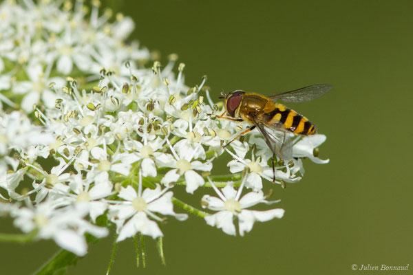 (Eupeodes latifasciatus) (Le Bastan de Sers, Sers (65), France, le 29/06/2018)