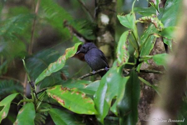 Batara ardoisé (Thamnomanes ardesiacus) (mâle, adulte)