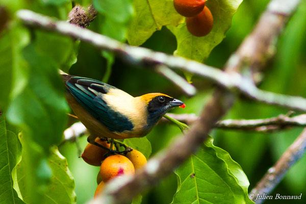 Calliste passevert (Tangara cayana) (mâle adulte) (Macouria, le 21/208/2016)