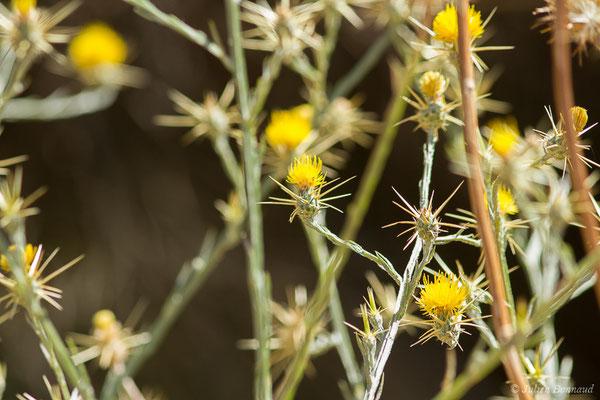 Centaurée du solstice (Centaurea solstitialis)