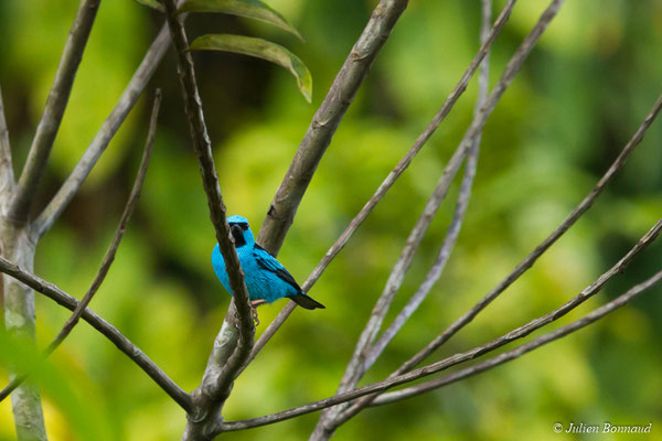 Dacnis bleu (Dacnis cayana) (mâle adulte) (Gallion, le 19/07/2014)