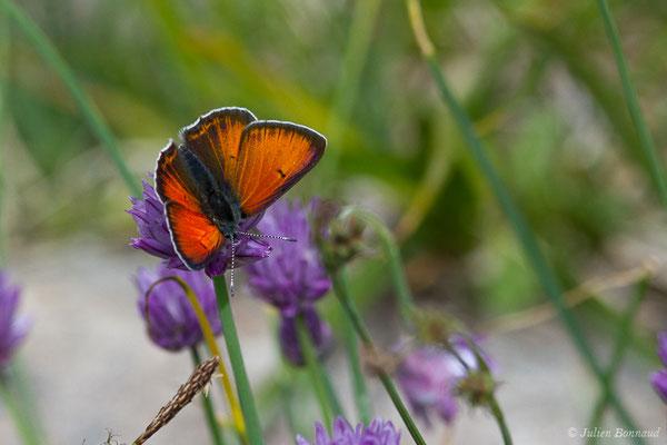 Cuivré écarlate (Lycaena hippothoe) (lac d'Ayous, Laruns (64), France, le 13/07/2019)