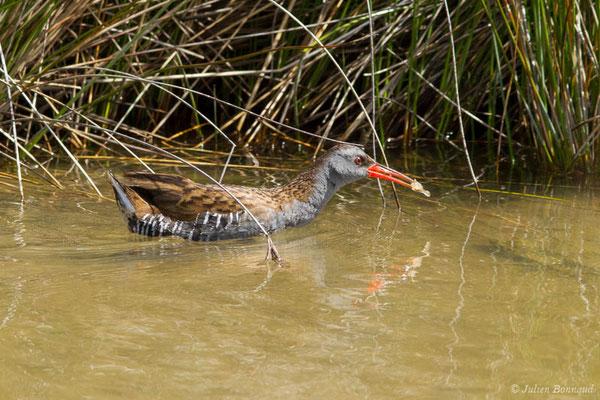 Râle d'eau – Rallus aquaticus Linnaeus, 1758, (réserve ornithologique du Teich (33), France, le 23/05/2021)