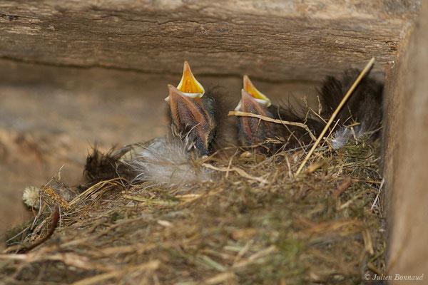 Rougequeue noir (Phoenicurus ochruros) (nichée) (Parbayse (64), France, le 25/06/2019)