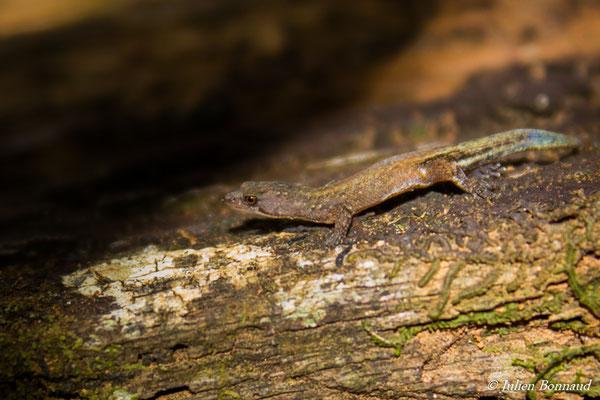 Gecko nain d'Amazonie (Chatogekko amazonicus) (adulte) (Citron, Saint-Laurent-du-Maroni, le 13/10/2018)