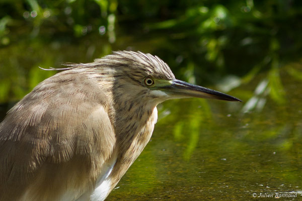 Crabier chevelu – Ardeola ralloides (Scopoli, 1769), (adulte en plumage internuptial) (Parc animalier des Pyrénées, Argelès-Gazost (65), France, le 03/10/2017)