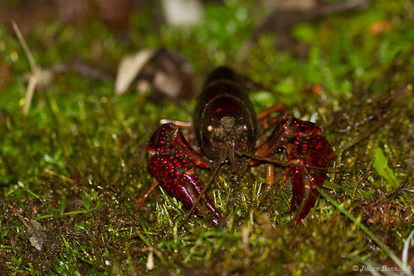 Écrevisse de Louisiane (Procambarus clarkii) (Duhort-Bachen (40), le 13/01/2019)