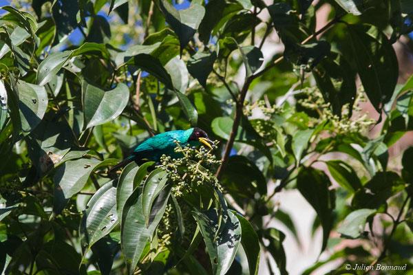 Guit-guit émeraude (Chlorophanes spiza) (mâle adulte) (Gallion, le 07/06/2014)