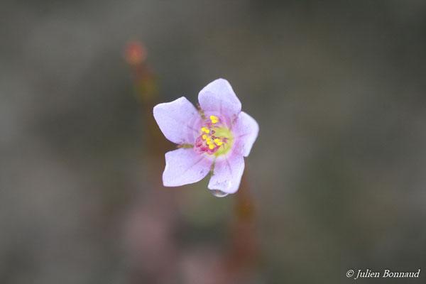 Acisanthera crassipes (Centre Spatial Guyanais, Kourou, le 13/05/2014)