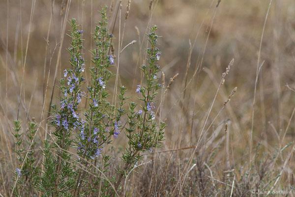 Romarin officinal (Rosmarinus officinalis) (Saint-Paul-lez-Durance (13), France, le 05/02/2021)