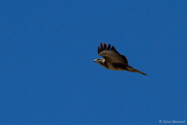 Buse variable (Buteo buteo) (adulte) (Pihourc, Lieoux (31), France, le 24/10/2018)