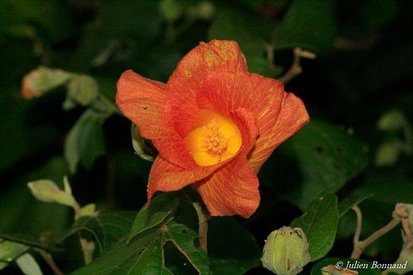 Hibiscus tiliaceus (Dégrad des cannes, Remire-Montjoly, le 19/08/2014)