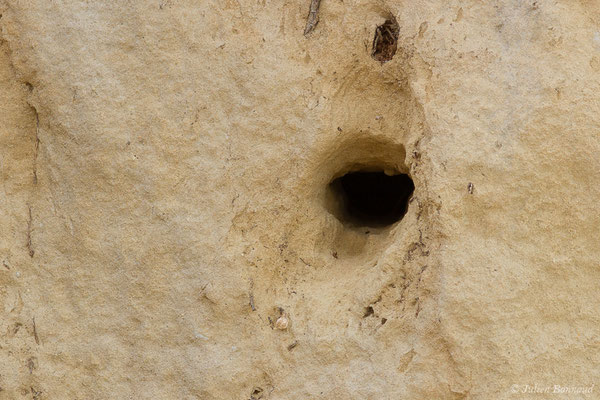 Hirondelle de rivage (Riparia riparia) (terrier) (Pontonx-sur-l'Adour (40), France, le 10/06/2020)
