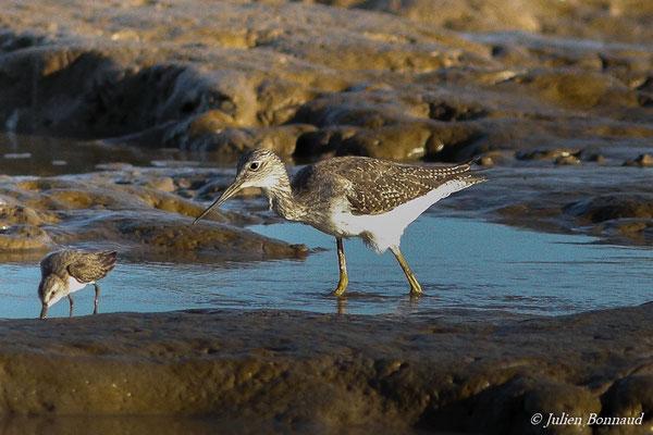 Grand Chevalier (Tringa melanoleuca) (plage des brésiliens, le 06/11/2015)