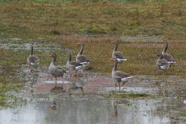 Oie cendrée – Anser anser (Linnaeus, 1758), (Saligue aux oiseaux, Orthez (64), France, le 29/12/2018)