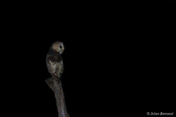 Chouette effraie, Effraie des clochers (Tyto alba) (route de Guatémala, le 24/07/2017)