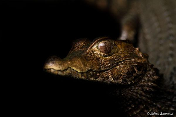 Caïman rouge (Paleosuchus palpebrosus)