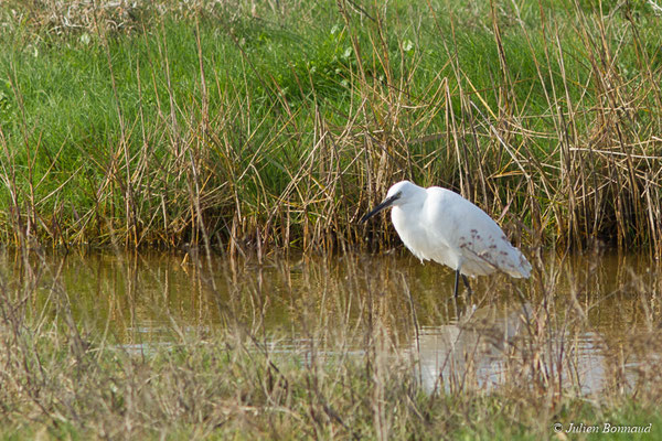 Aigrette garzette (Egretta garzetta) (immature ou adulte en plumage internuptial) (Baie de Saint-Brieuc, Hillion (22), France, le 22/02/2018)
