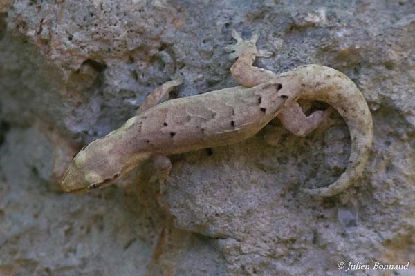 Thécadactyle à queue turbinée (Thecadactylus rapicauda) (Saint-Anne, le 21/05/2016)