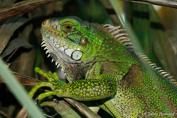 Iguane vert (Iguana iguana) (Remire-Montjoly, le 06/12/2016)