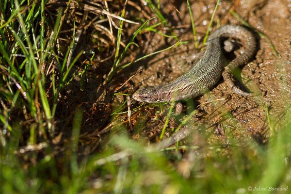 Lézard vivipare de Lantz (Zootoca vivipara louislantzi) (femelle gravide) (Col d'Aubisque, Béost (64), France, le 29/06/2019)
