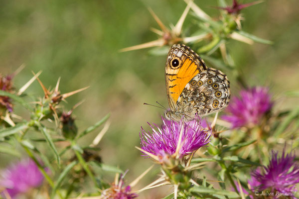 Mégère corse (Lasiommata paramegaera) (Forêt d'Aitone, Évisa (2A), France, le 11/09/2019)