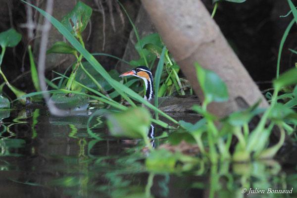 Grébifoulque d'Amérique (Heliornis fulica) (femelle adulte) (Kaw, le 24/01/2016)