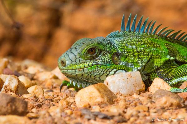 Iguane vert (Iguana iguana) (sub-adulte) (Elysée, Guyane, le 24/09/2016)