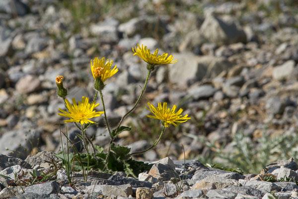 Épervière peu élevée (Hieracium humile) (Station de ski de Gourette, Eaux Bonnes (65), France, le 30/07/2020)