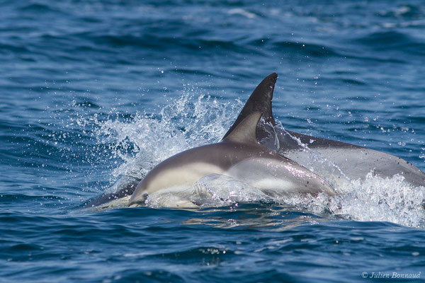 Dauphin commun à bec court (Delphinus delphis) (Sagres (Vila do Bispo), Algarve (Portugal), le 31/08/2018)