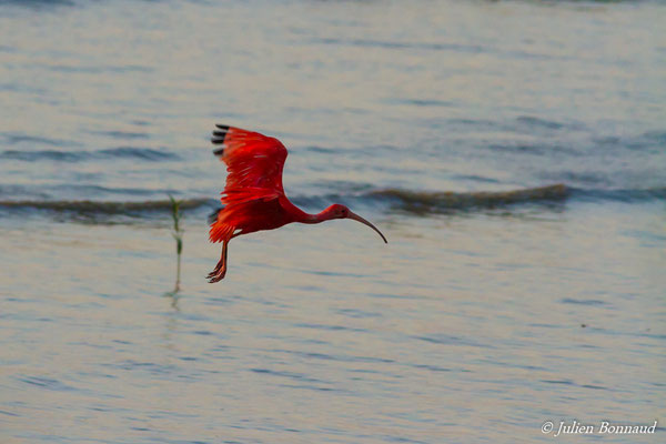 Ibis rouge (Eudocimus ruber) (adulte) (Plage des brésiliens, Remire-Montjoly, le 29/09/2016)