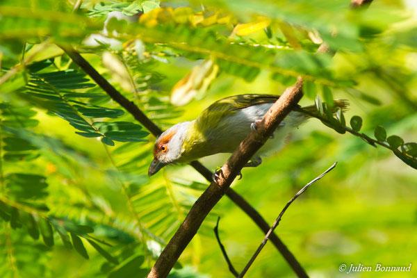 Sourciroux mélodieux (Cyclarhis gujanensis) (adulte) (Petit-Saut, le 07/07/2016)