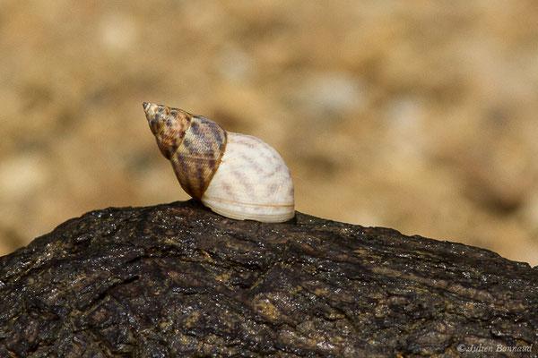 Echinolittorina angulifera (Route des plages, Remire-Montjoly, le 05/08/2014)